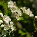 Hawthorn Blossom_1