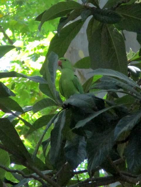 Perroquet vert, Canon IXUS 175