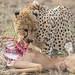 Cheetah (© Jonathan Lewis)