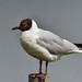 Black Headed Gull F00235 Marshside RSPB D210bob DSC_4770