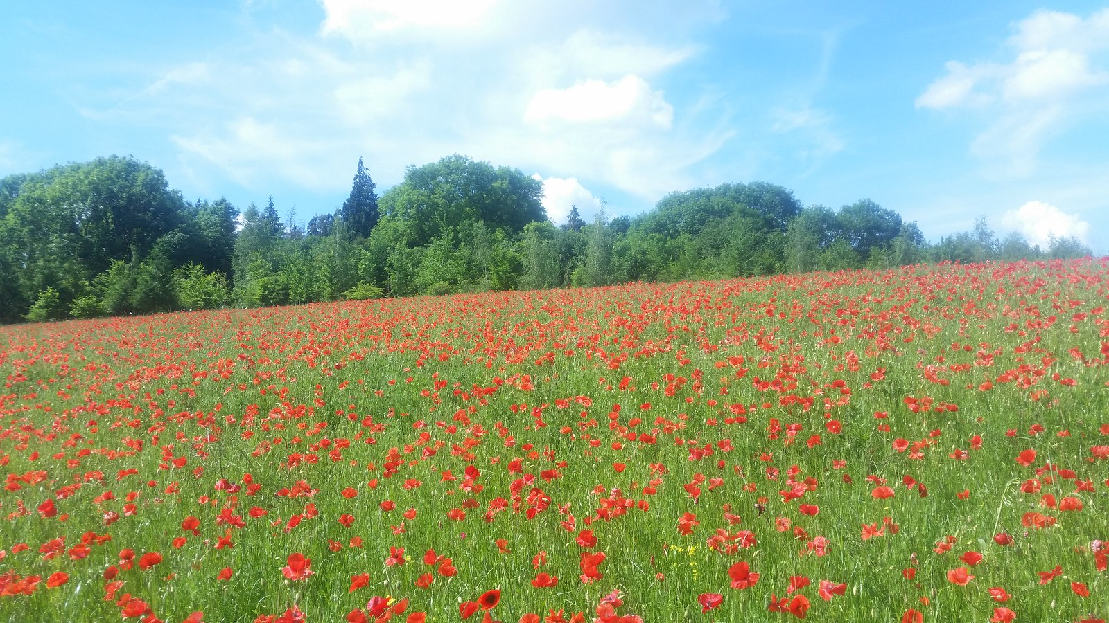 Carpet of poppies at Unhill Bottom near Moulsford 3 June 2018