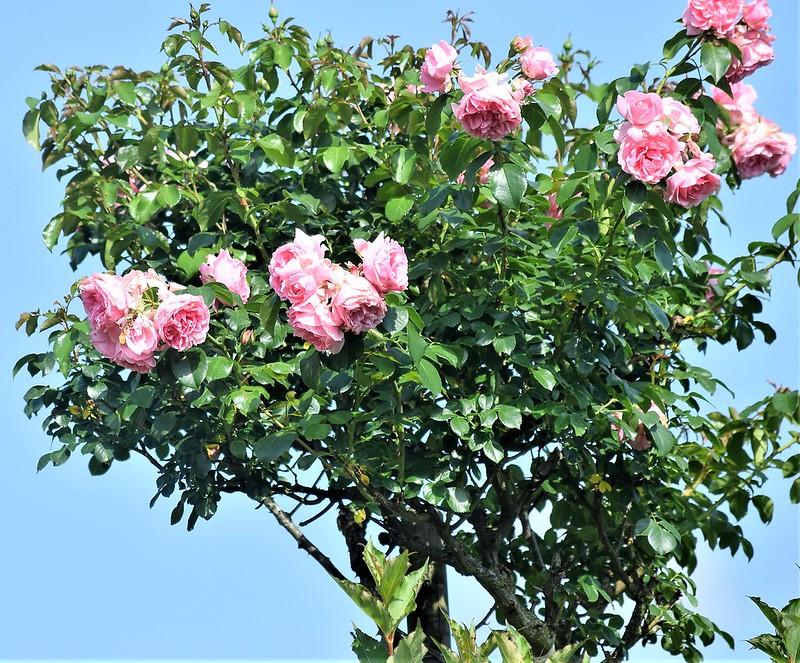 Roses 05.06.2018