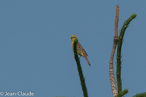 Emberiza citrinella ♂ - Yellowhammer