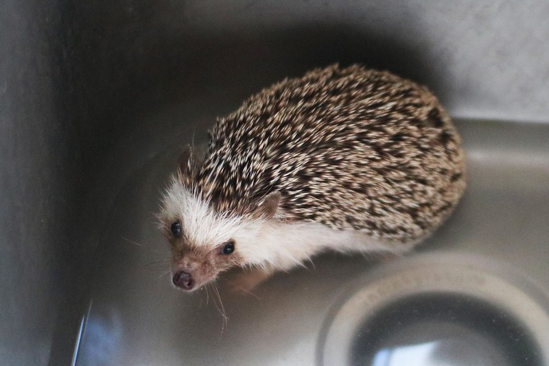 Hedgie Bath