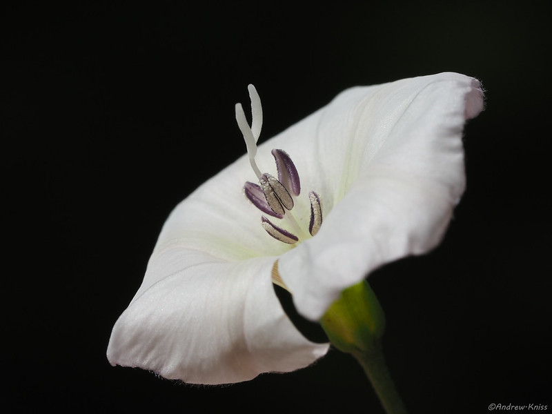 Field bindweed flower