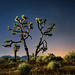 mojave joshua tree by jody9