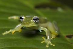 Cute Eyes Glass Frog-Espadarana callistoma (3)