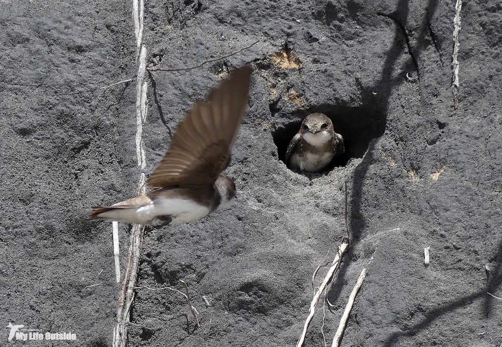 P1140891 - Sand Martin Colony, Burry Port