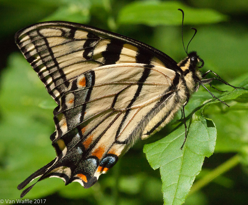 Papilio canadensis, Canadian tiger swallowtail