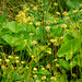 Going to seed, marsh marigolds