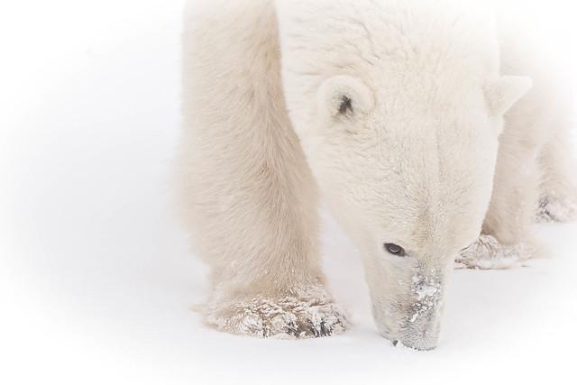 Polar bear - Churchill
