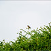 A distant whinchat