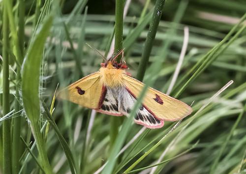 Clouded Buff Moth (Diacrisia sannio)