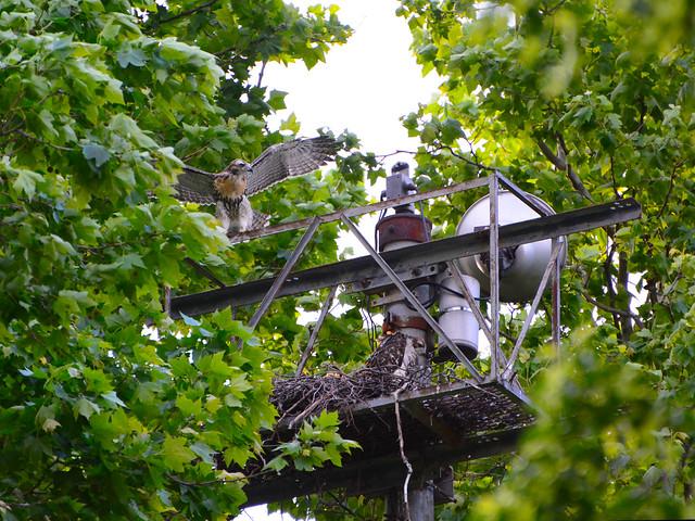 GT Hawk Nest - 0604