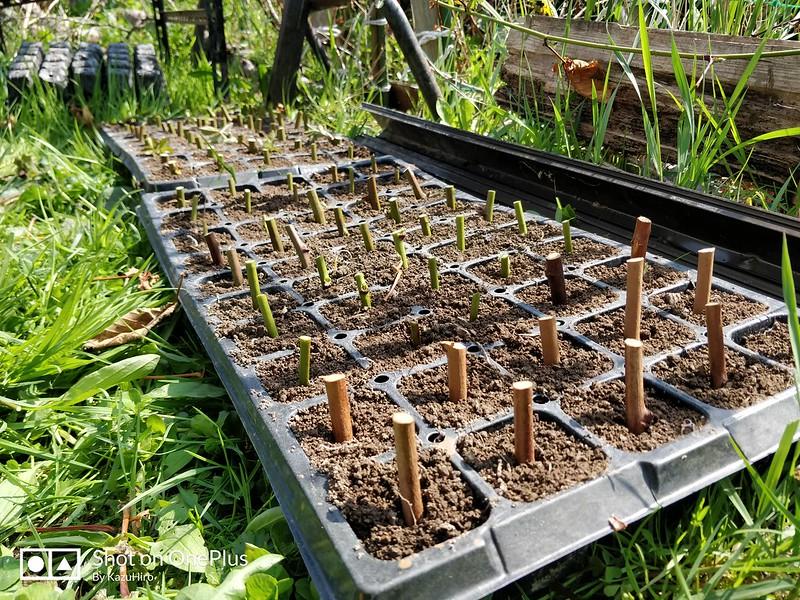 ブラックベリーの苗を作る (12)