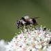 Hogweed Cheilosia (Cheilosia illustrata)