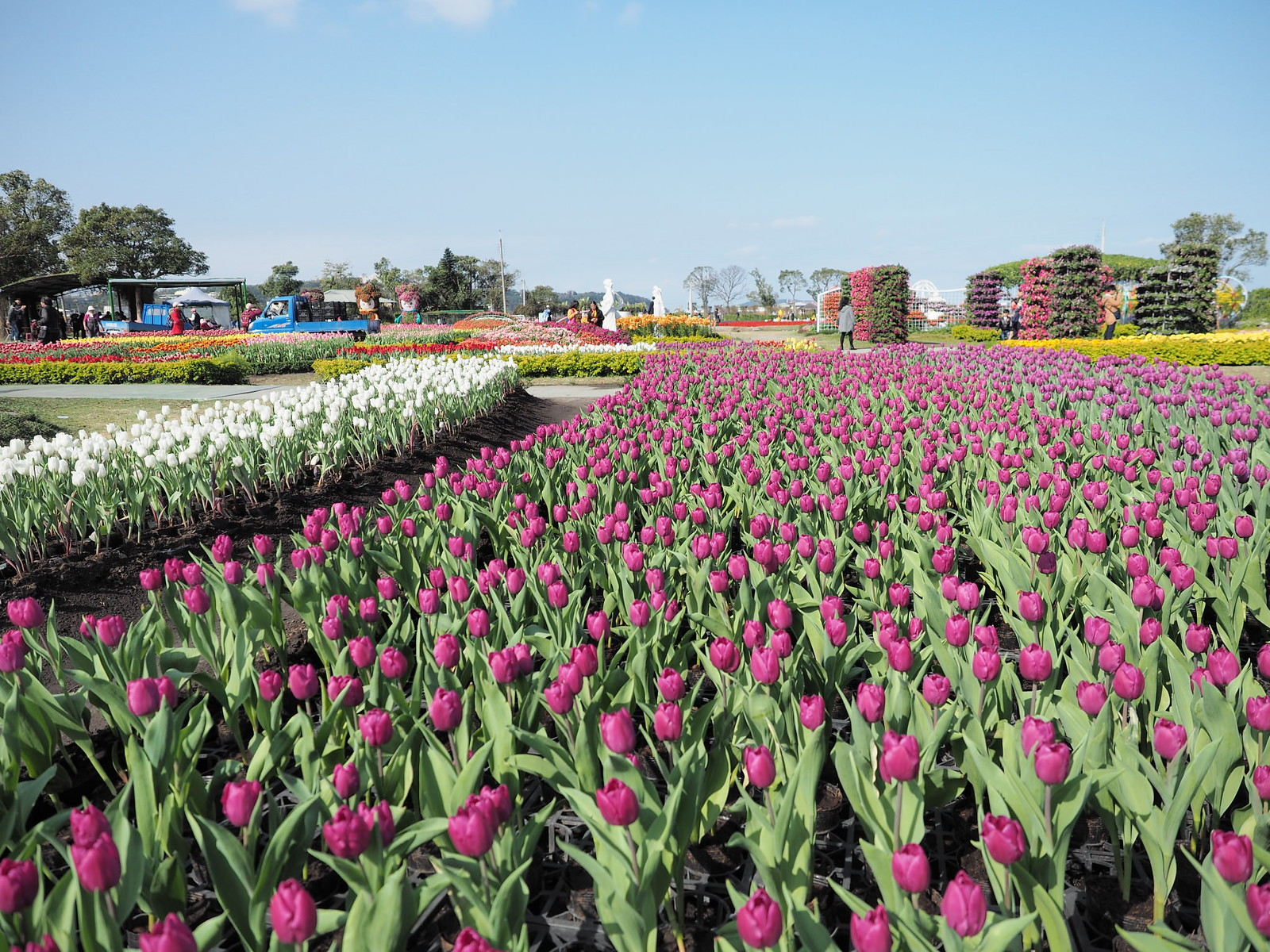 Sea of tulips at Chungshe Flower Garden (中社觀光花市)