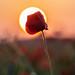 Poppy Against the Sun (089A7008-2)