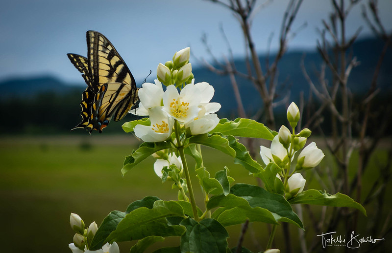 Swallowtail butterfly on Mock Orange