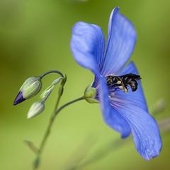 Abeille et fleur de lin