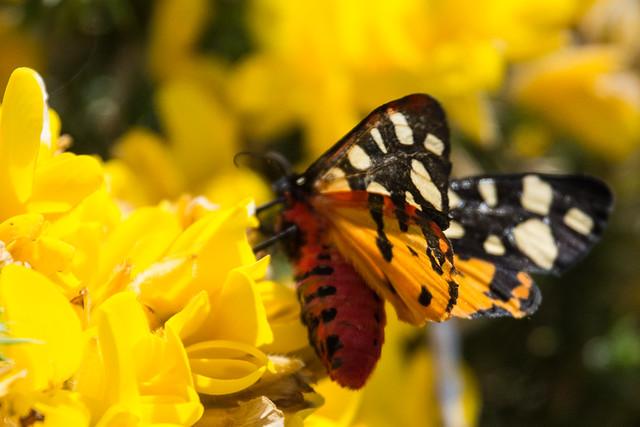 Cream-spot Tiger Moth Arctia villica - A Blur Of Colour
