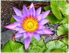 Nymphaea nouchali-[ blue star water lily]