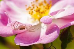 Araignée dans la rose