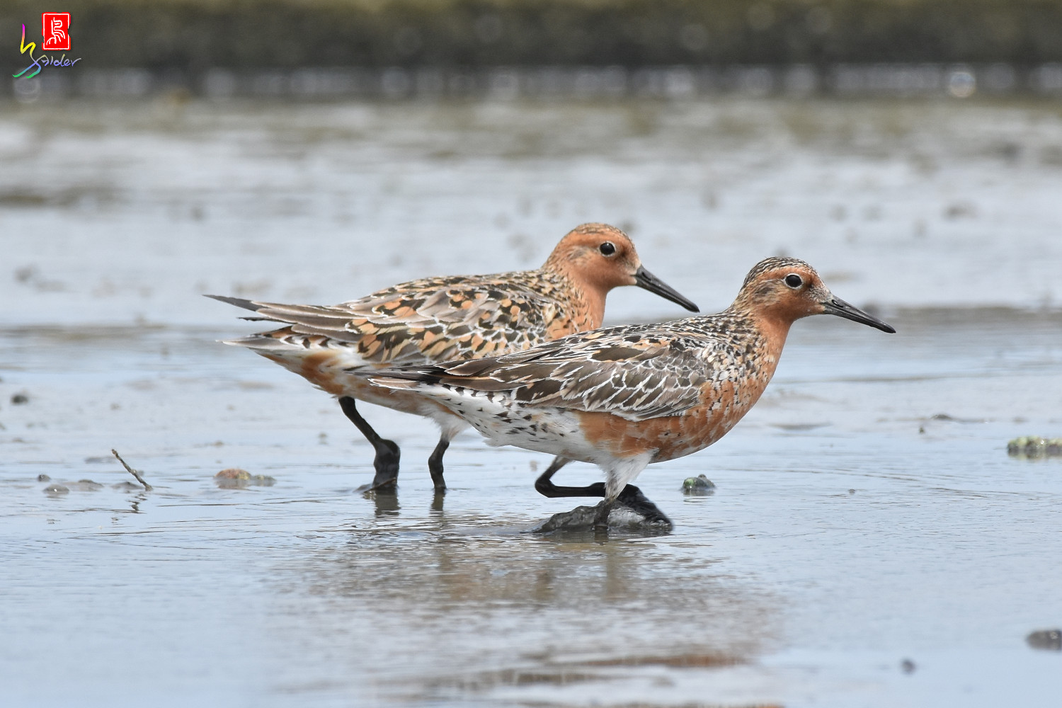 Red_Knot_0286