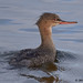 red-breasted mereganser 10 2018 female