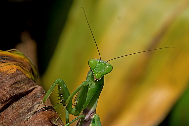 Hierodula grandis - the Giant Indian Mantis