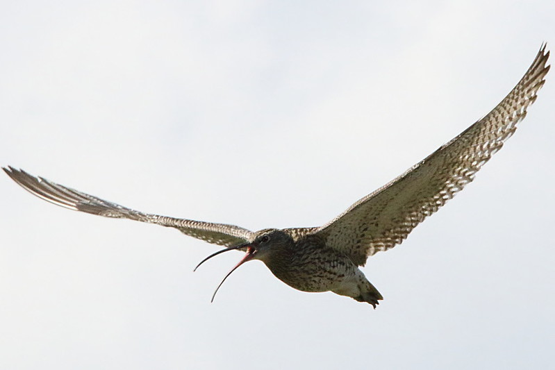 Curlew trying to distract from their young