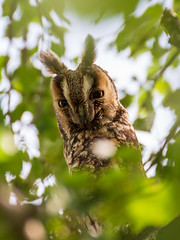Owl in the leaves