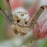 Flower Crab Spider ♂