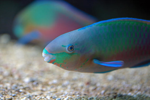 Colorful parrotfish