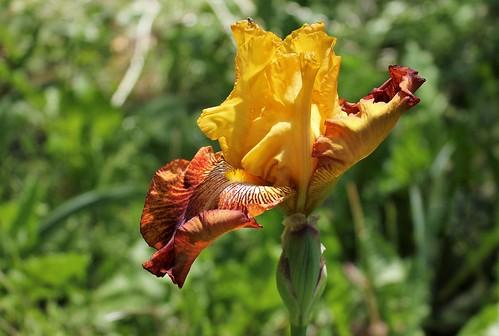 Iris 'Polka du Barry' - Rose-Linda Vasquez-Poupin 2009 41623274364_d658ddb2a3