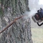 Wycinka potężnej topoli kanadyjskiej (Luszewo)