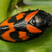 Black & Red Froghopper