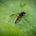 Black Snipefly - Chrysopilus cristatus (male)