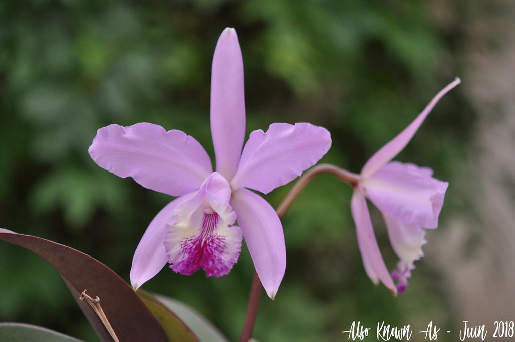 Cattleya Holdenii (intermedia x warneri) 41978569104_e2a8fd5c20_b