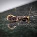 Carrion Moth - Monopis weaverella