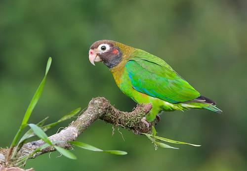 Loro cabecipardo / Brown-hooded Parrot