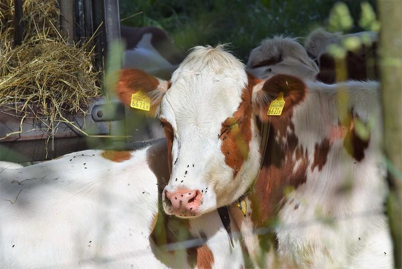 Cows 27.05 (2)
