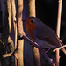 34 Robin