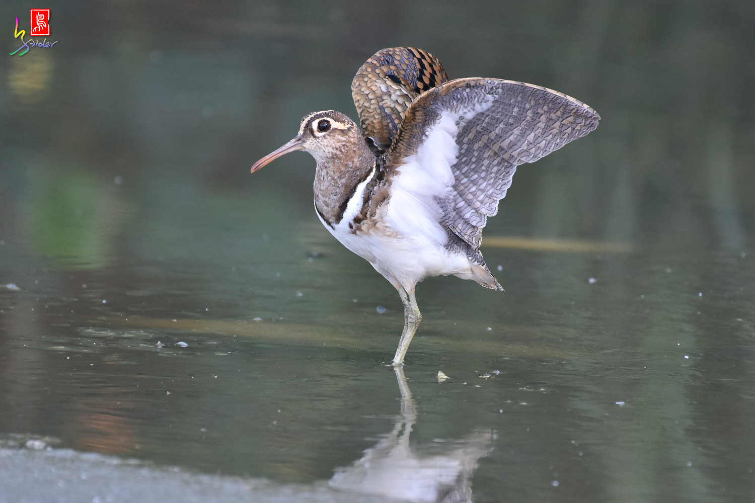 Painted_Snipe_8329