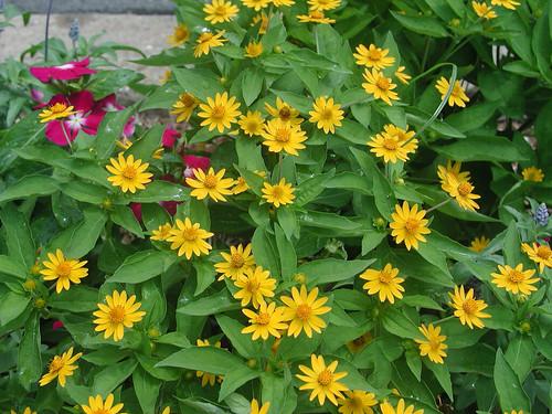 Melampodium divaricatum flower (5)