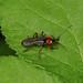 Soldier Beetle --- Cantharis pellucida