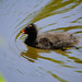Moorhen chick, canal
