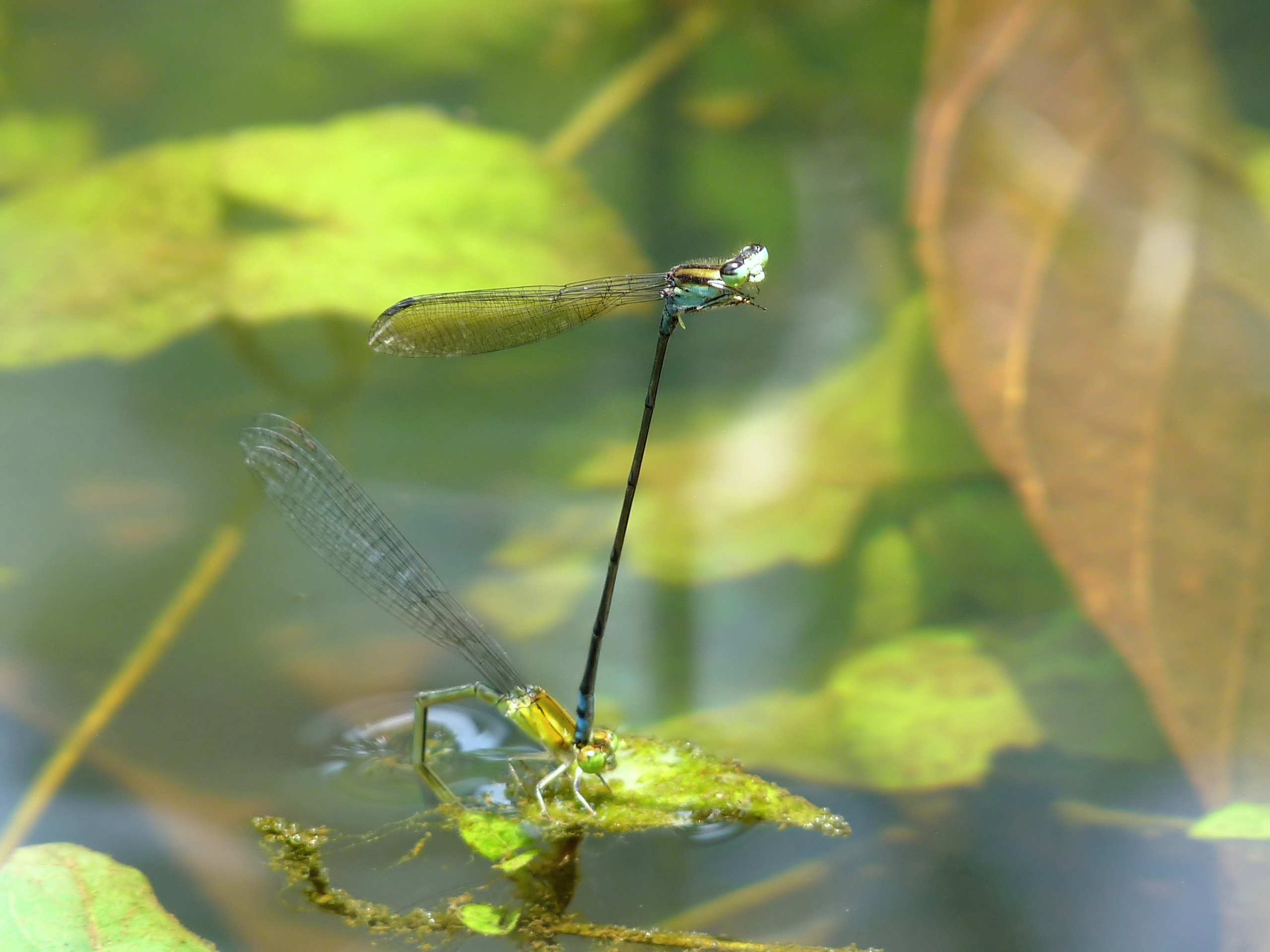 Yellow-striped blue dart, Pseudagrion indicum, laying eggs; the male (above) continues to hold the female with his claspers.