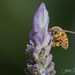 _A2I5262 Honey Bee on Lavender by Ashala Tylor Images