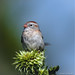 Field Sparrow (Spizella pusilla) - Griggstown, New Jersey by JFPescatore